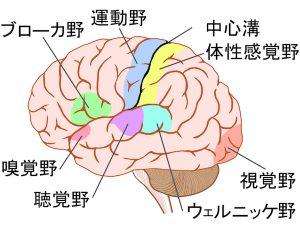 脳の支配領域