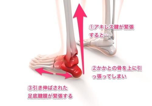 アキレス腱と足底腱膜