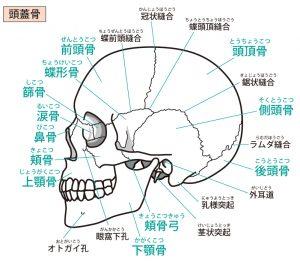 頭蓋骨の名称