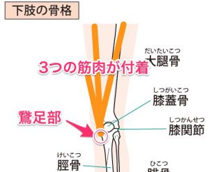 鵞足部のイラスト