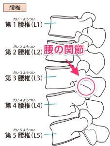 腰椎(腰の関節)のイラスト